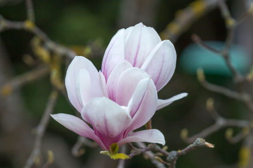 Magnolia Flower – Meaning, Symbolism and Colors