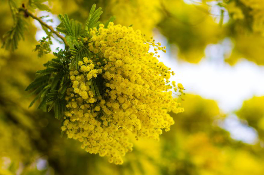 Mimosa Flowers: Meaning and Symbolism