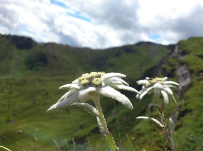 Edelweiss flower meaning