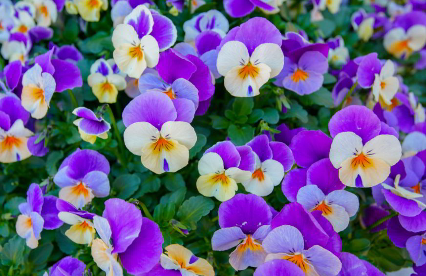 Pansy meaning in different colors
