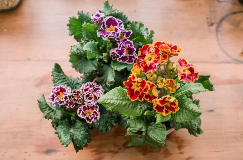 What Do Primrose Flowers Symbolize