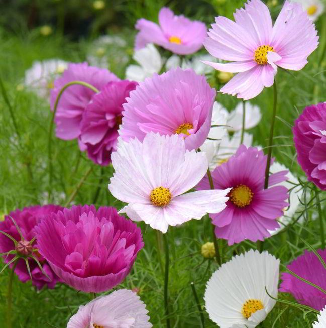 Characteristics of Cosmos Flower