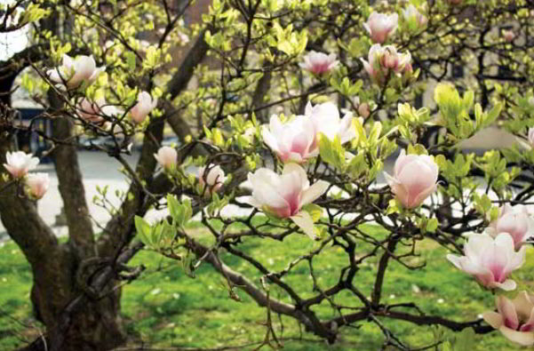 Uses of Magnolia Flower
