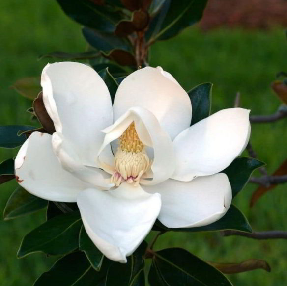White Magnolia Flower Meaning