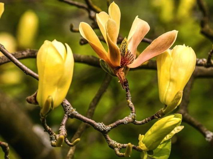Yellow Magnolia Flower Meaning