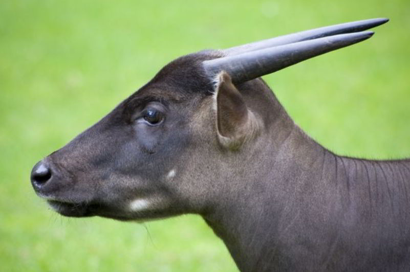 anoa four letter animals