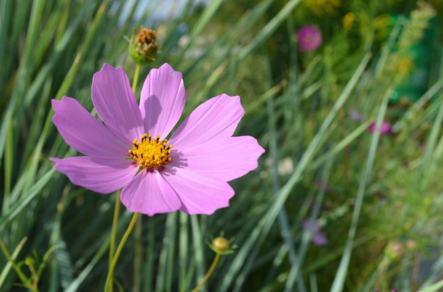 Amazing Meaning and Symbolism of Cosmos Flower