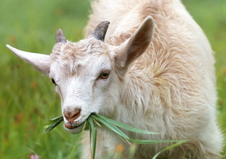 goat four letter animals