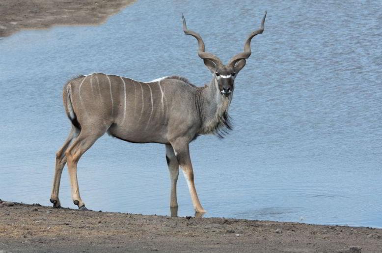 kudu four letter animals