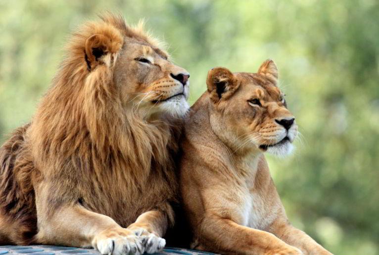 lion is a genus Panthera native