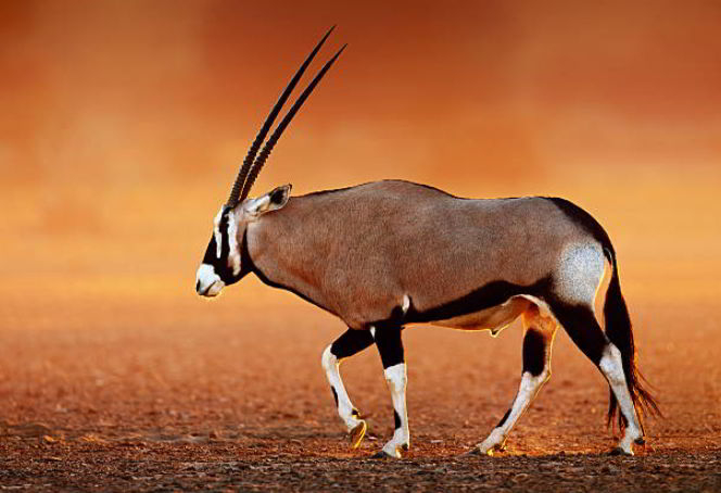 oryx four letter animals