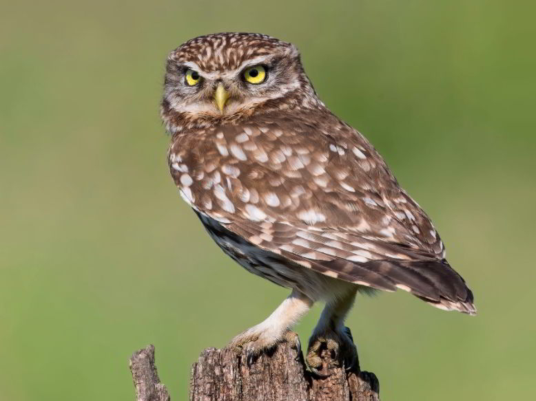 owl animals