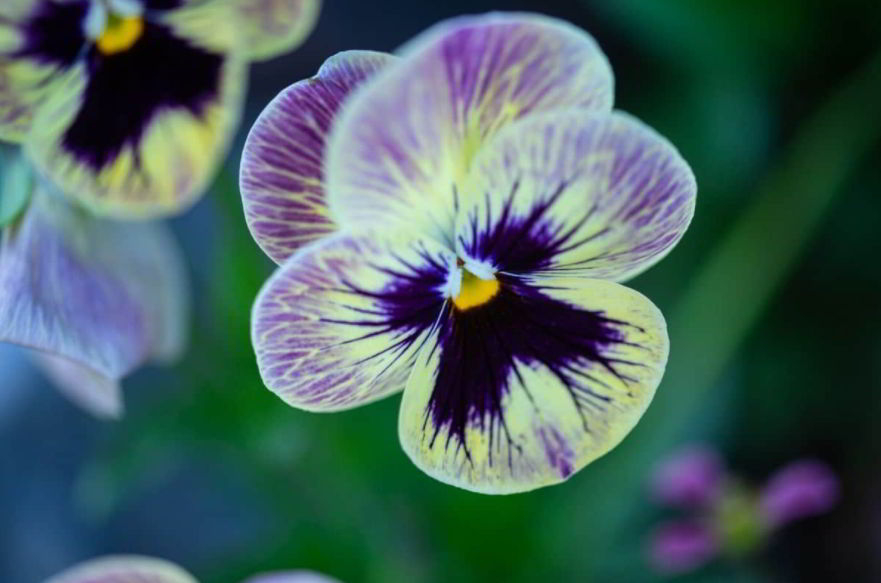 Pansy meaning, origins, and other interesting facts