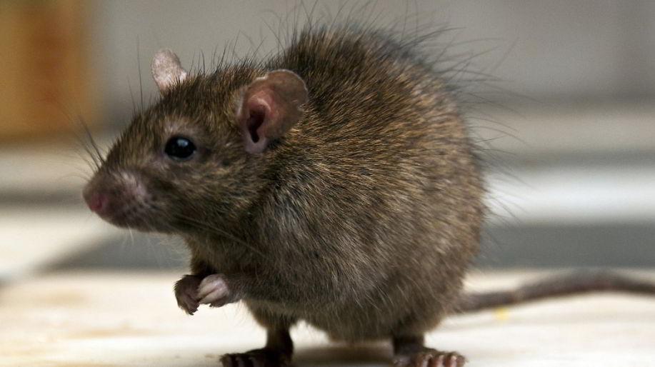 rat 3 Letter Animals