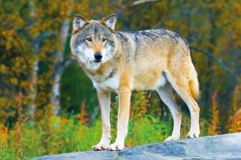 wolf four letter animals