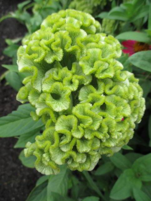 Green Cockscomb
