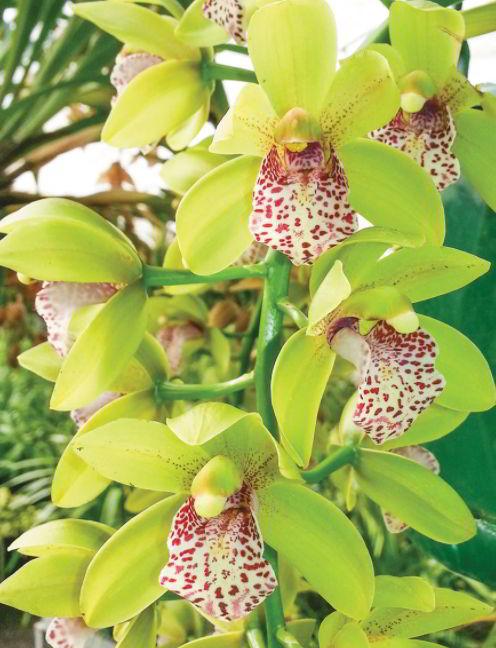 Cymbidium Orchid green flower