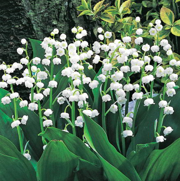Lily of The Valley Meaning