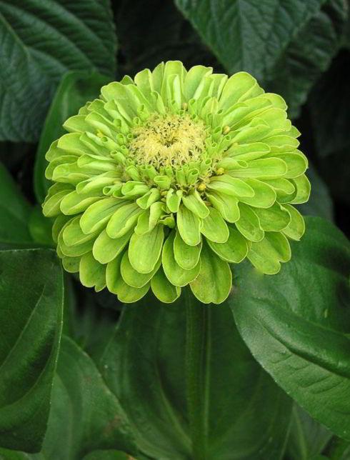 Zinnia green flower