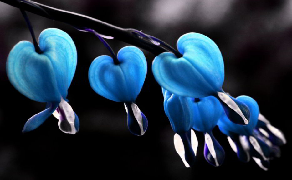 bleeding heart flower and symbolism