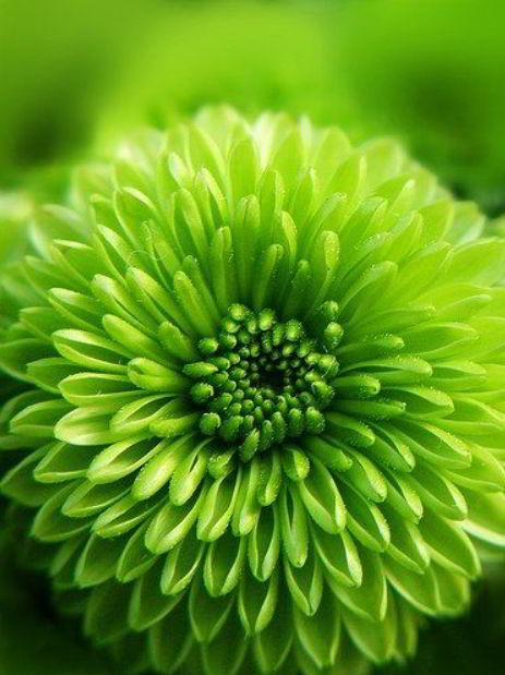 green dahlia flower