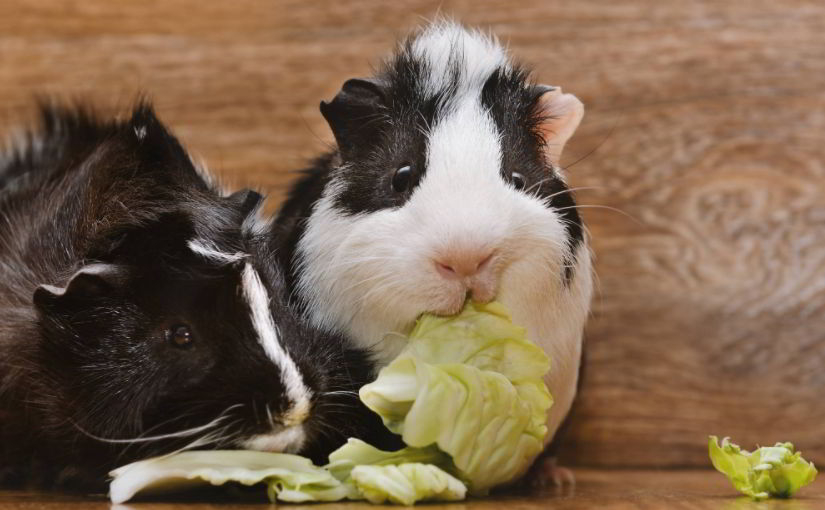 Is Cabbage Healthy for Guinea Pigs?