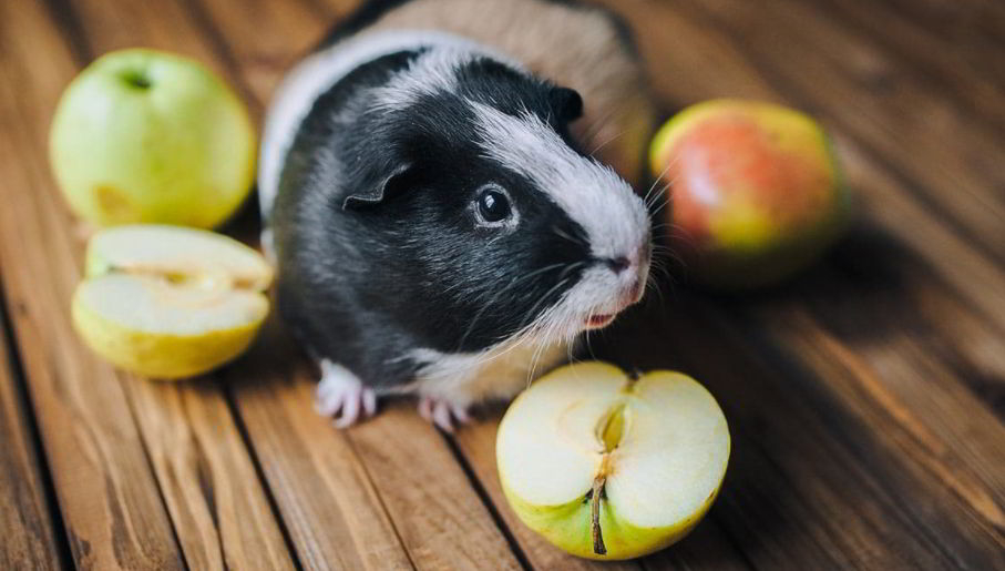 Can Guinea Pigs Eat Apple