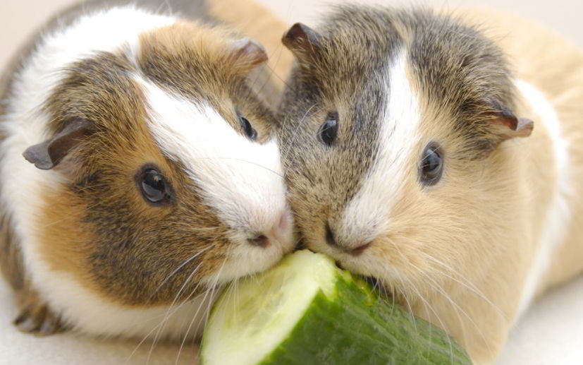 Are Can Guinea Pigs Eat Cucumbers
