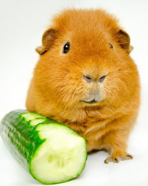 Cucumbers Healthy for Guinea Pigs